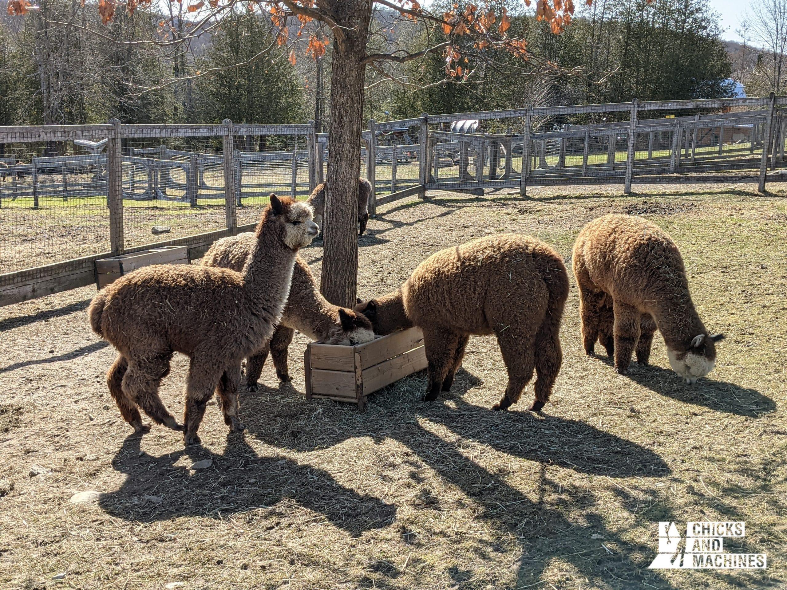 A visit to our friends the alpacas!